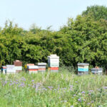 One of our apiaries in Staincross