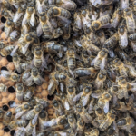 Busy bees on the comb